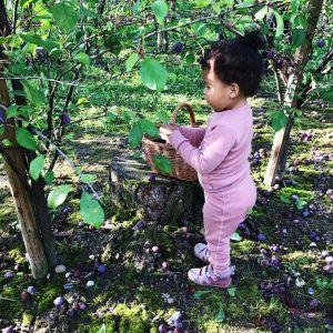 Lindved frugtplantage