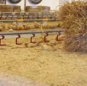 Økologiske kyllinger Rokkedahl