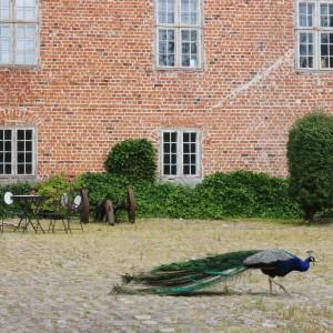 Påfugl Harridslevgaard slot