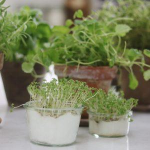Dyrkning af urter indenfor
